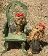Yorkshire Terrier & Welpe