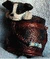 Border Collie pup in coal Bucket