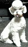 Sitting white Poodle 682